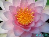 荷花蓮花:20200729_100926.jpg