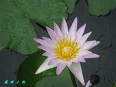 荷花蓮花:IMG_8115