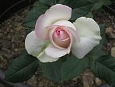 玫瑰薔薇:清心