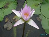 荷花蓮花:IMG_4169.jpg