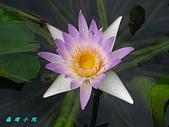 荷花蓮花:IMG_9238