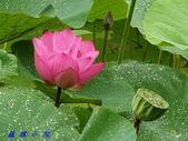 荷花蓮花:20200608_092141.jpg