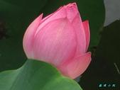 荷花蓮花:IMG_4104