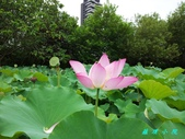 荷花蓮花:20130625_114702.jpg