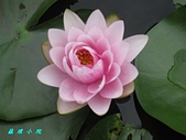荷花蓮花:IMG_8173