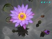 荷花蓮花:IMG_8158