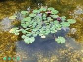荷花蓮花:20000103_220217.jpg