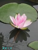 荷花蓮花:IMG_3496