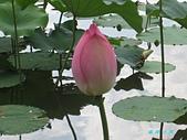 荷花蓮花:IMG_4113