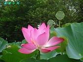 荷花蓮花:IMG_4039