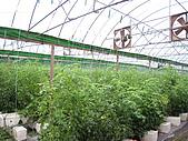 20080211_關西仙草_新埔蕃茄:1492.jpg