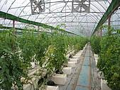 20080211_關西仙草_新埔蕃茄:1494.jpg