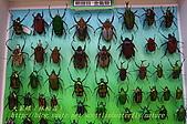 成功高中「蝴蝶宮.昆蟲科學博物館」:20100128蝴蝶宮昆蟲館(林柏昌攝)006.JPG