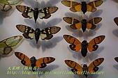 成功高中「蝴蝶宮.昆蟲科學博物館」:20100128蝴蝶宮昆蟲館(林柏昌攝)024.JPG