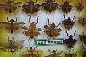 成功高中「蝴蝶宮.昆蟲科學博物館」:20100128蝴蝶宮昆蟲館(林柏昌攝)041.JPG