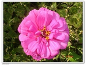 大屯花卉農場:DSC08771.JPG