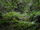 新竹尖石八五山古道、內鳥嘴山、北得拉曼步道:DSCN4977.JPG