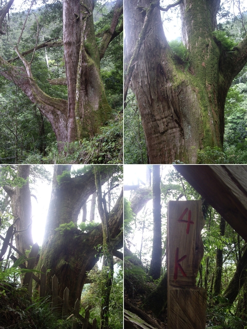 新竹尖石鎮西堡B區神木群:IMGP2370-73.JPG