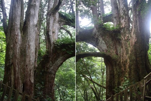 新竹尖石鎮西堡B區神木群:IMGP2403-05.JPG