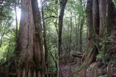 新竹尖石鎮西堡B區神木群:IMGP2417-19.JPG
