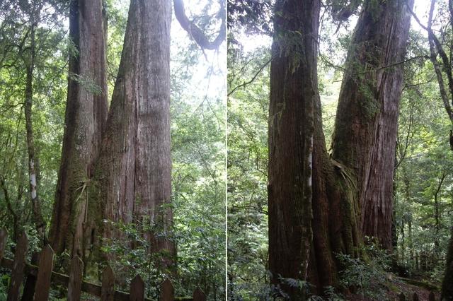 新竹尖石鎮西堡B區神木群:IMGP2420-21.JPG