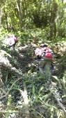 台中和平八仙山主峰步道、佳保台山:IMAG0042.jpg