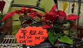 大安庇護農場週年慶 敬邀愛心點綴聖誕節:聖誕紅.jpg
