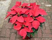 大安庇護農場週年慶 敬邀愛心點綴聖誕節:盛開的聖誕紅.jpg