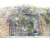 浪漫的紫藤花:照片 2299.jpg