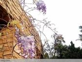 浪漫的紫藤花:12931063_1238582252838361_6149703038513876377_n.jpg