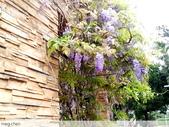 浪漫的紫藤花:照片 2322.jpg