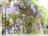 浪漫的紫藤花:照片 2323.jpg