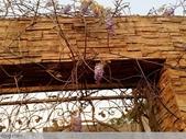 浪漫的紫藤花:12439190_1238582232838363_8884026999720042034_n.jpg