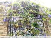 浪漫的紫藤花:照片 2304.jpg