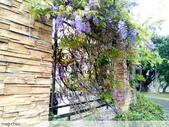 浪漫的紫藤花:照片 2307.jpg