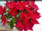 聖誕節…充滿耶誕氣氛的聖誕紅、聖誕樹 …:IMG_20151221_103639.jpg