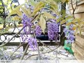 浪漫的紫藤花:照片 2301.jpg