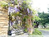 浪漫的紫藤花:照片 2308.jpg
