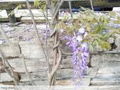 浪漫的紫藤花:照片 2302.jpg