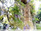 浪漫的紫藤花:照片 2303.jpg