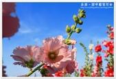 學甲蜀葵花田&古坑荷苞山油桐花:學甲蜀葵花田22.JPG