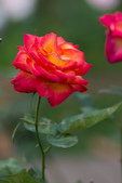 又見玫瑰花開:DSC_0115.jpg