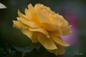 又見玫瑰花開:DSC_0122.jpg