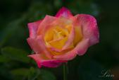 又見玫瑰花開:DSC_0148.jpg