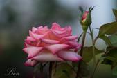 又見玫瑰花開:DSC_0154.jpg