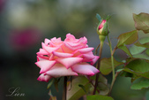 又見玫瑰花開:DSC_0152.jpg