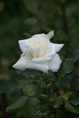 又見玫瑰花開:DSC_0103.jpg