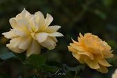 又見玫瑰花開:DSC_0117.jpg