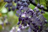 紫藤咖啡園:DSC_0561.jpg