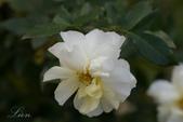 又見玫瑰花開:DSC_0093.jpg
